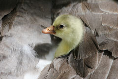 Gosling hiding under his mom. Cute gosling peeking out from under his mother's wing royalty free stock images