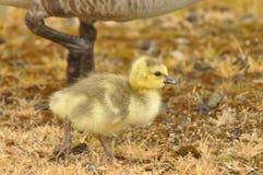 Gosling im gelben Gras mit Muttergesellschaft Lizenzfreie Stockbilder