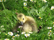 Gosling inspecting Daisies Royalty Free Stock Photography