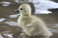 Gosling - le secteur de lac Photos stock