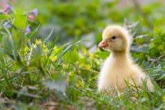 gosling little Royaltyfri Fotografi