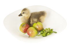 Gosling living on a plate with apples Stock Photography