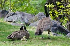 Gosling marchant avec la maman et le papa Photos stock