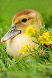 Gosling near flowers. Gosling near some field yellow flowers Stock Photo