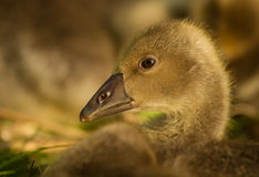Gosling in profile Royalty Free Stock Photography