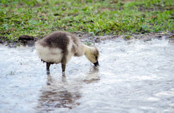 Gosling in a puddle Stock Image
