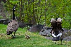 Gosling que camina con la mamá y el papá Foto de archivo