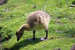 Gosling que camina en el lado de una charca que busca un titbit en la hierba Fotos de archivo libres de regalías
