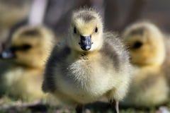 Gosling recém-nascido que faz o contato de olho direto imagem de stock