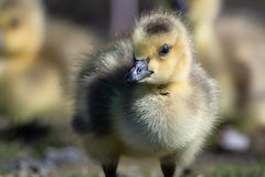 Gosling rec?m-nascido que faz o contato de olho direto imagem de stock royalty free