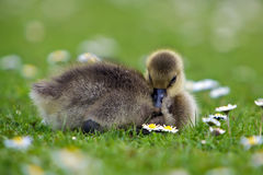 Gosling s'étendant dans l'herbe Photographie stock libre de droits