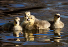 Gosling siblings. These goslings were sticking together in a tight nit group. The rest of their siblings had formed other clicks Stock Photo