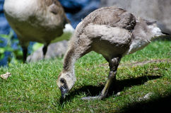 Gosling Snacking on Grass Stock Photo