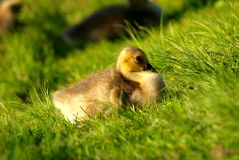 Gosling In Spring. A very lovely gosling. I took this photo in a spring afternoon, gosling looks so quite Stock Photography
