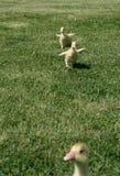 Gosling sprint Stock Image