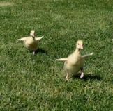 Gosling sprint Royalty Free Stock Photo