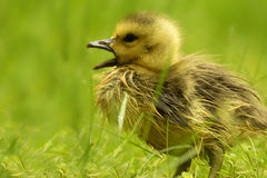 Gosling Squawk Royalty Free Stock Images
