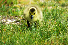 Gosling staring into the camera. A very young gosling staring right at the camera while walking through the grass Stock Photo