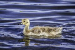 A Gosling Venturing Out On Its Own