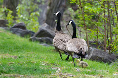 Gosling Walking with Mom and Dad Royalty Free Stock Photography