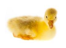 Gosling Stock Image