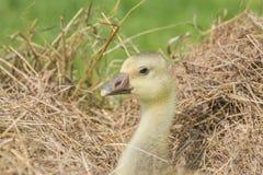 Gosling - white goose royalty free stock photo