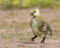 Gosling. Wild yellow greylag gosling first steps Stock Photos