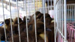 Gosling y anadones negros para la venta en jaula almacen de metraje de vídeo