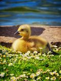 Gosling. Young gosling on grass Stock Photo