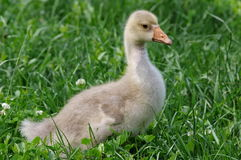 Gosling. Young gosling on green grass Royalty Free Stock Photography
