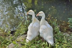 goslings Arkivfoto