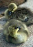 Goslings. Cute little gosling (baby goose royalty free stock photos