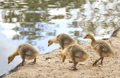 Goslings. Cute baby goslings by the water Stock Photo