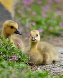 Goslings Stock Photography