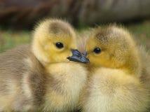 Goslings Stock Photo
