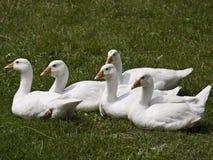 goslings Royaltyfria Bilder