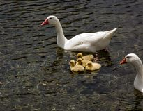 Goslings Royalty Free Stock Photography