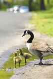 Goslings. Two goslings with an adult goose in a puddle Stock Photo