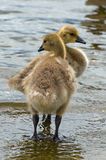 Goslings Royalty Free Stock Photos