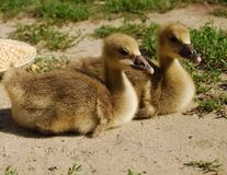 goslings royaltyfria bilder