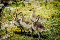 goslings Fotografering för Bildbyråer