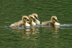 Goslings - Branta canadensis Royalty Free Stock Photography