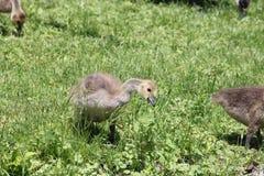Goslings (Canada Geese) Stock Photo
