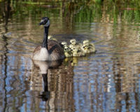 Goslings. A Canada Goose and goslings float along the water Royalty Free Stock Photo