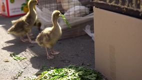 Goslings eat dandelion leaves on the farm market. Lovely goslings eat dandelion leaves. The chicks tear off pieces from the delicate leaves next to the stock video footage
