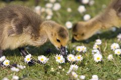 Goslings Eating Grass Stock Image