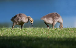 Goslings eating Royalty Free Stock Image