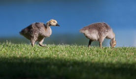 Goslings eating Stock Photography