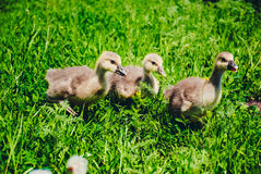 Goslings eating green grass in the yard Royalty Free Stock Image