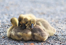 Goslings Royalty Free Stock Photo